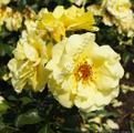 Фото розы сорта Goldstern.Голдштерн