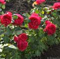 фото плетистой розы сорта Эрик Таберли Eric Tabarly