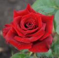 Фото бутона розы чайно-гибридной сорт Блек Мэджик  Black Magic