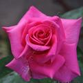 Фото розы Emily. Эмили