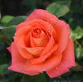 Фото розы Роза Folklore