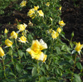 фото чайногибридной розы сорта Ландора Landora (Sunblest)