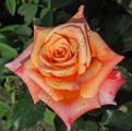 фото чайно-гибридной розы сорта Мильва Milva