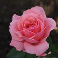 Роза Queen Elizabeth Куин Элизабет