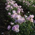 фото чайно-гибридной розы сорта Сис-си Sis-si