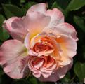 Augusta Luise. Августа Луиза Фото розы Augusta Luise. Августа Луиза