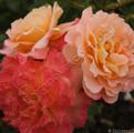 Фото розы Augusta Luise. Августа Луиза Augusta Luise. Августа Луиза