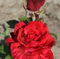 фото чайно-гибридной розы сорта Ред Интуишин Red Intuition