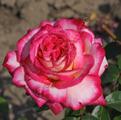 Чайно-гибридная роза сорта Роз Гожар Rose Gaujard