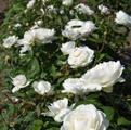 фото английской розы сорта Винчестер Кэсидрал Winchester Cathedral
