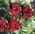 чайно-гибридная роза Блек Баккара Black Baccara