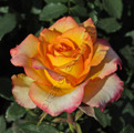 фото чайно-гибридной розы Оптима Optima
