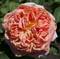 фото плетистой розы сорта Алкимист Alchymist