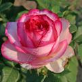 фото чайногибридной розы сорта Дольче Вита Dolce Vita 2000