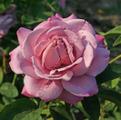 Фото розы Waltz Time. Вальц Тайм