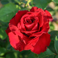 фото чайногибридной розы сорта Фридом