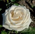Фото розы Bianca. Бианка