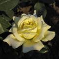Фото розы сорта Elfe. Эльф