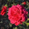 Фото розы сорта Laguna. Лагуна
