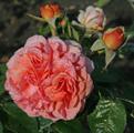 Фото розы сорта Chippendale. Чиппендейл