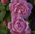 фото английской розы сорта Мэри Роуз Mary Rose