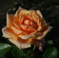 Фото розы Sahara. Сахара