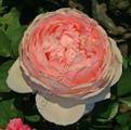 Фото розы сорта Evelyn. Эвелин