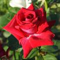 Фото розы Excalibur.Экскалибур