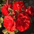 Фото розы сорта Europeana. Европеана