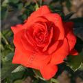 Роза сорта Maintower. Мэйнтауэр.