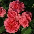 Роза Rosarium Uetersen плетистая роза Розариум Ютерзен