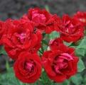 Фото розы Ronda. Ронда