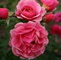 Фото сорта розы Camelot. Камелот