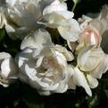 фото розы Dominique Loiseau Доминик Луазо