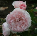фото розы The Wedgwood Rose. Зе Веджвуд Роуз