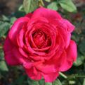 ���� ���� ����� Johann Wolfgang von Goethe Rose. ������ ��������� ��� ����