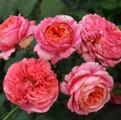 Роза Mary Ann. Мэри Энн