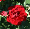 Саженцы роз Coeurs de Vendee. Кёр де Ванде