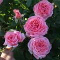 Фото розы La Rose de Molinard. Ля Роз де Молинар