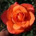 Фото розы Wow.Вау
