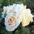 фото сорт розы Lions Rose