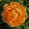 фото сорт розы Golden Celebration. Голден Селебрейшн
