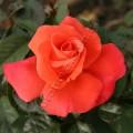 фото розы сорта Christophe Colomb. Христофор Колумб