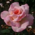 Роза чайно-гибридная Confidence. Конфиданс