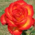 фото чайно-гибридной розы Циркус Circus
