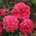 Фото розы Berleburg. Берлебург