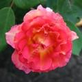 фото роза La Parisienne. Ля Паризьен