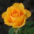 Фото розы Kerio. Керио