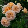 плетистая роза Полька 91, Polka 91