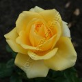 фото розы сорта Gold Strike. Голд Страйк